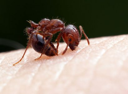 fire ant 2